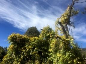 overrun vines